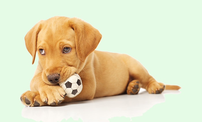 Adorable Labrador Puppy Playing with a Chew Toy on White Backdrop 1
