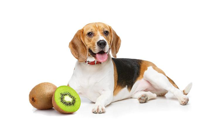 Can Dogs Eat Kiwi 1 Can Dogs Eat Kiwi? – All Dog Lovers Need To Know About