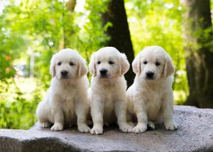 Golden Retriever puppies Florida best places to purchase 2 Golden Retriever puppies Florida – Best places to purchase