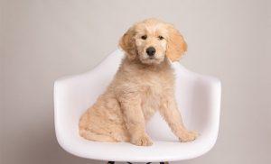Adopting Goldendoodle Puppies