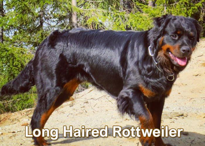 Long Haired Rottweiler