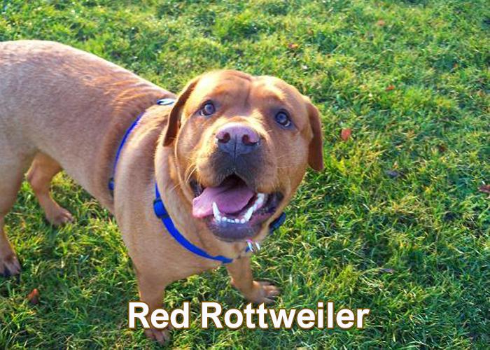 Red Rottweiler