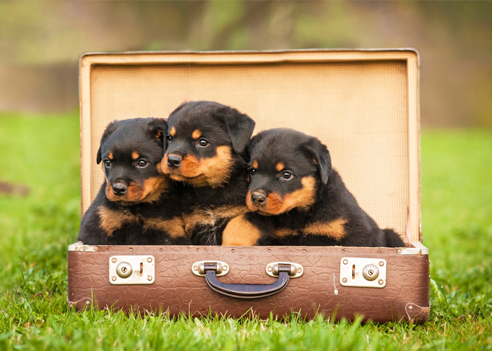 Rottweiler Puppies For Sale - How To Buy Online?