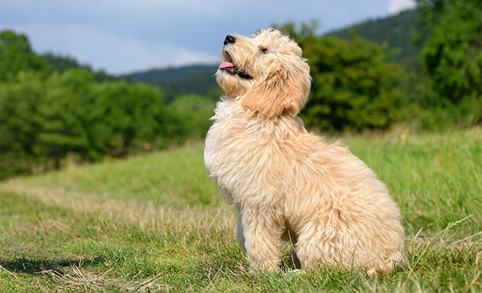 Who will not love the adorable Mini Goldendoodles