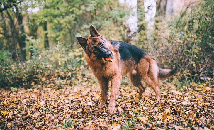 Long haired German shepherd dog plays