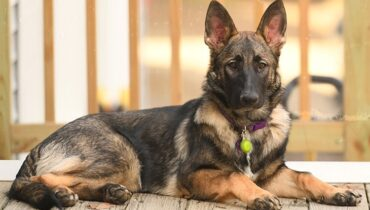 Sable German Shepherd in regal pose