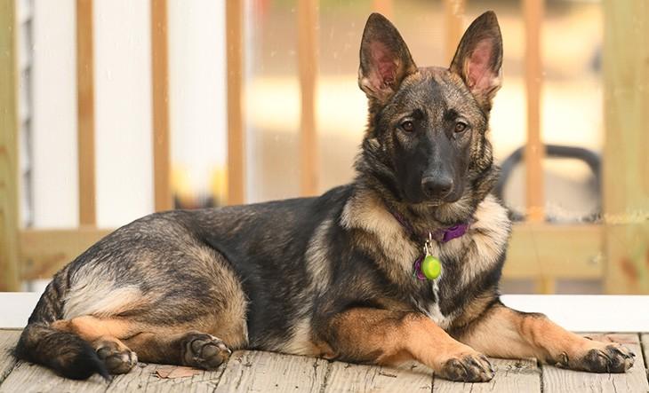 Sable German Shepherd in regal pose