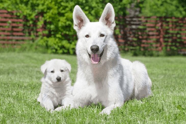 White-German-Shepherd-Puppy