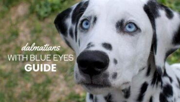 Dalmatians-With-Blue-Eyes
