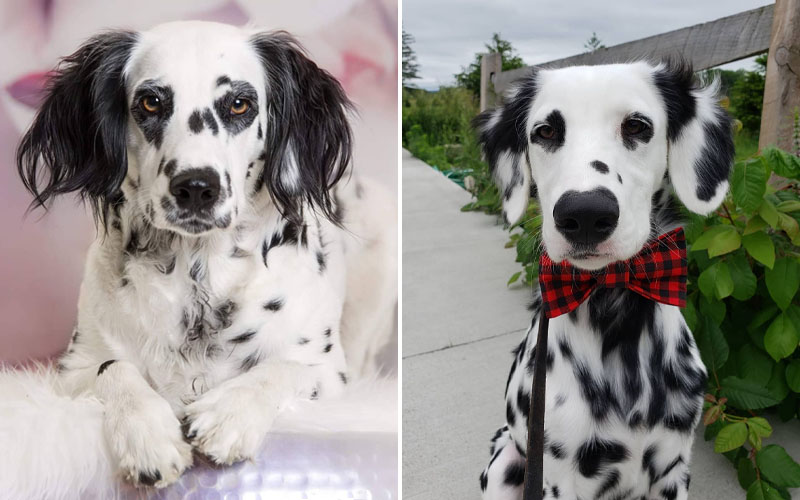 Puppies-dalmatians