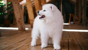 Samoyed Puppies - Cute White-Hair Friend to Feed at Home
