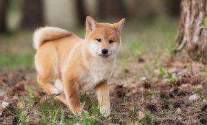 Shiba Inu puppies - Cute Fox-like Japanese Dog Breed