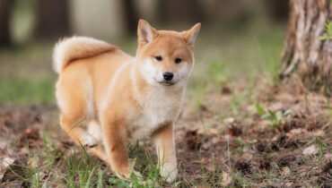 Shiba Inu puppies - Cute Fox-like Japanese Dog Breed