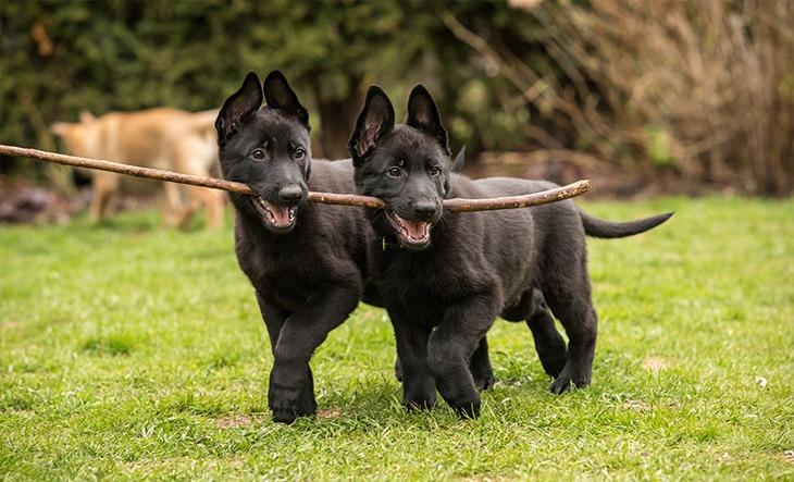 Two black working line German shepherd puppies brings one stick