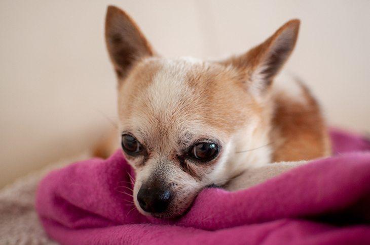 Deer head Chihuahua Cute Dog