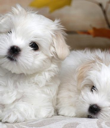 Want To Know More About Maltese Puppies