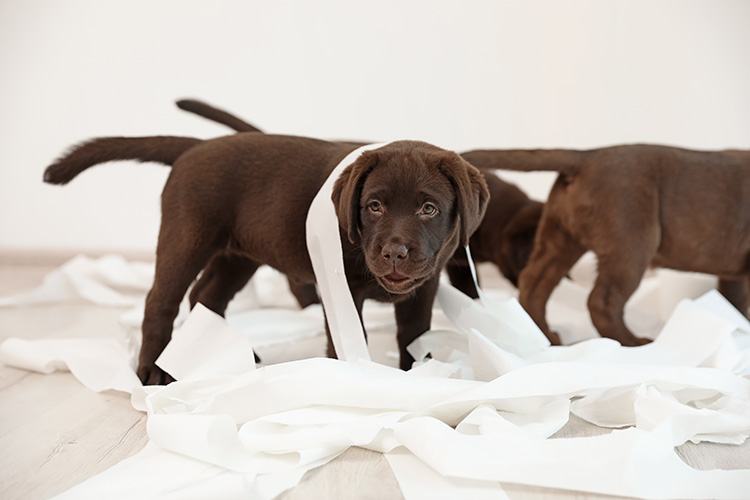 Cute chocolate Labrador Retriever puppies with torn paper indoors