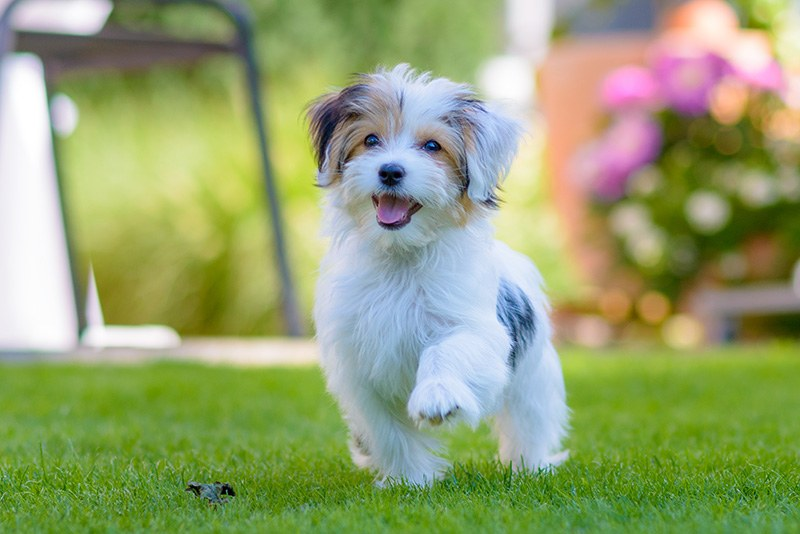 Happy Havanese Puppies caught in motion while running