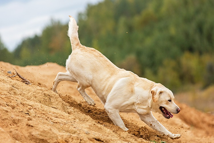 Happy yellow labrador running and playing.
