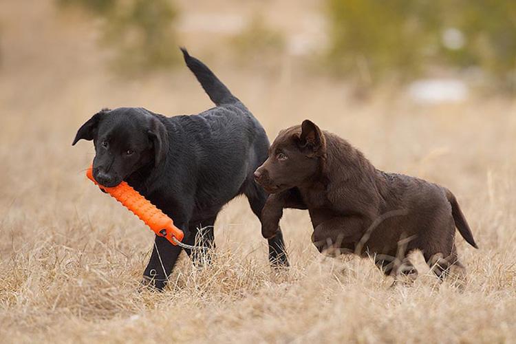 Labrador-Retriever-puppies-playing