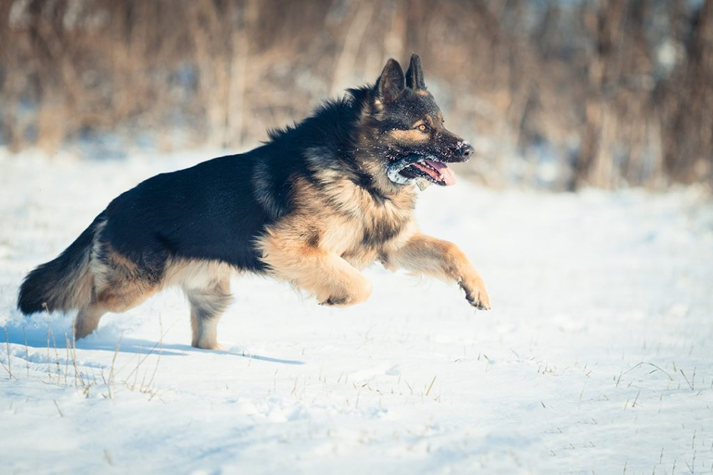 Large German Shepherd – A Breed Introduction For Dog Lover