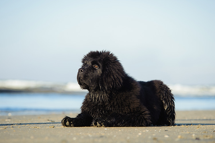 Newfoundland Puppies 101 Facts And Traits