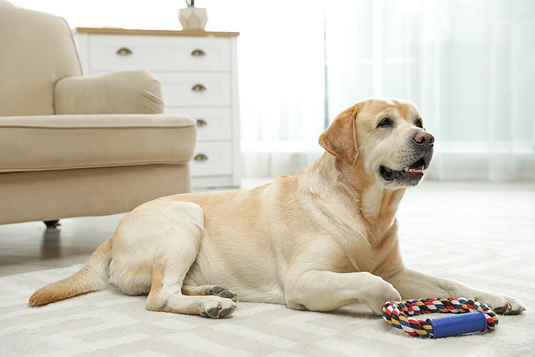 Yellow labrador retriever with toy on floor indoors