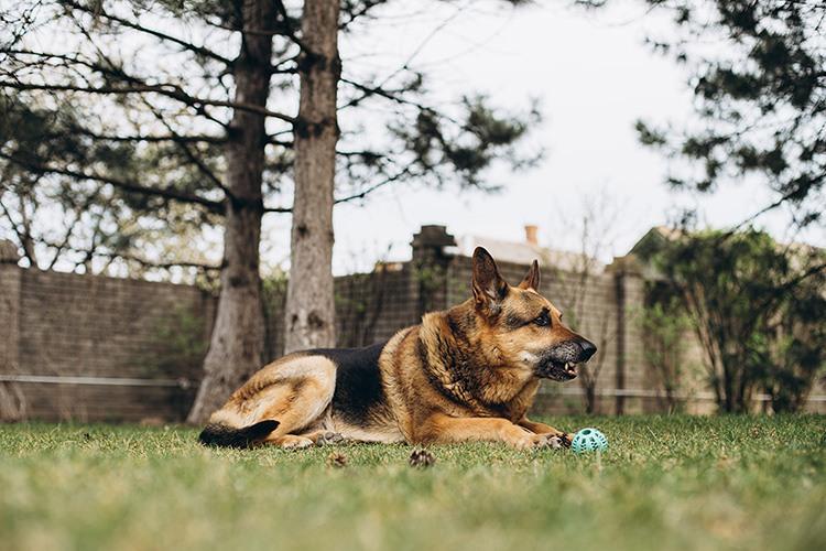 a large dog, a German shepherd lies in a park