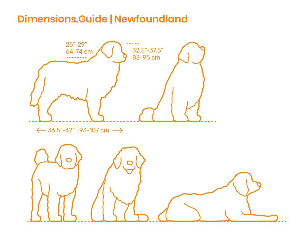 Newfoundland's dimension guide
