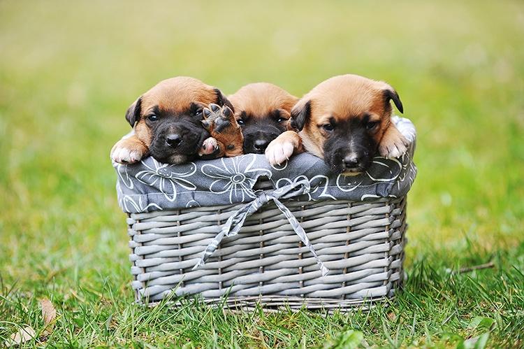 young puppies belgian shepherd malinois in box