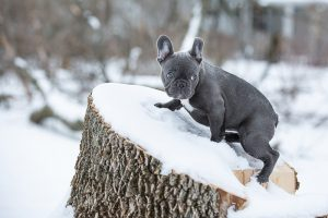 Blue French Bulldog posing and at play with big ears.