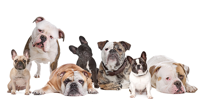 Can you guess which one is the Old English bulldog?