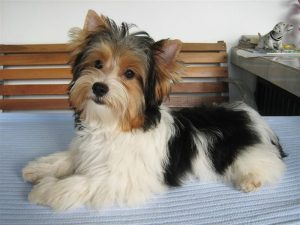 Parti Yorkies can live up to 15 years if you take care of them well