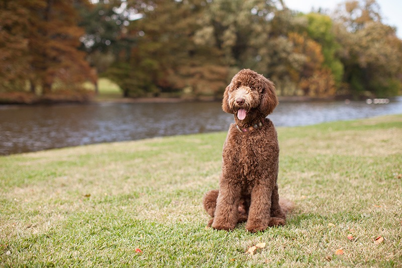 Beautiful Labradoodle Standing by River