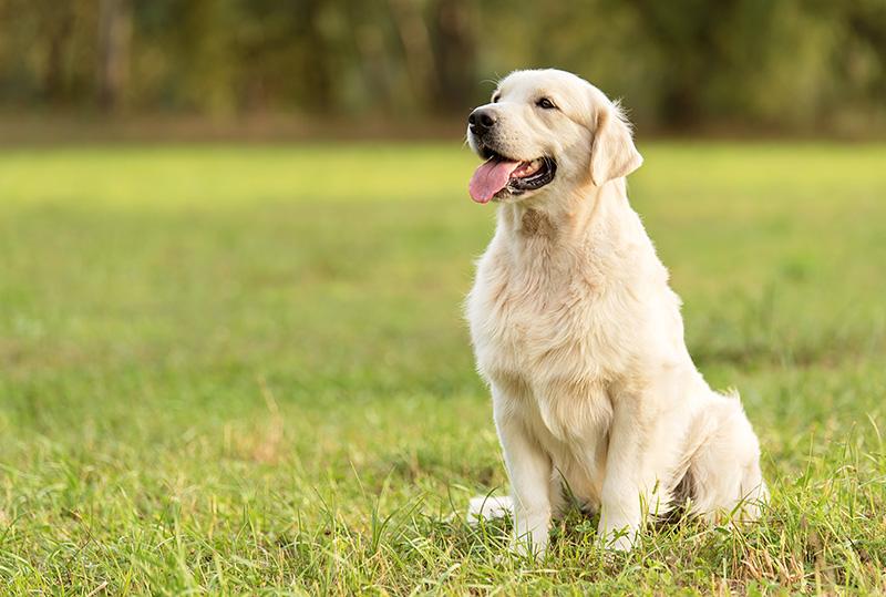 Beauty Golden retriever dog in the park