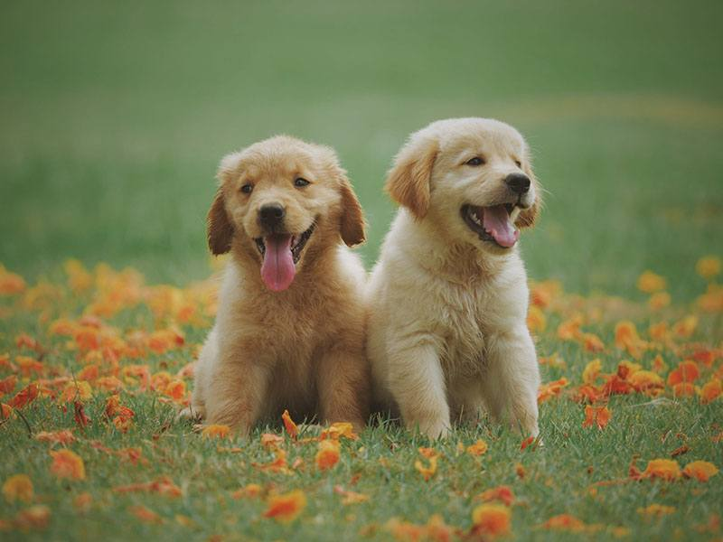 Golden Retriever puppies need three meals a day.