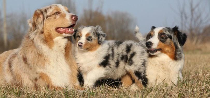 The history of Australian shepherd dogs