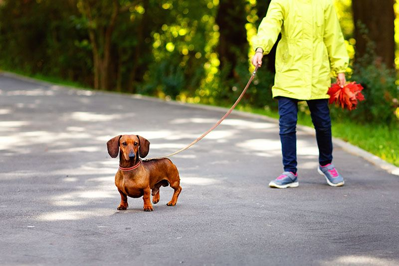 A child with a red purebred Dachshund on a walk