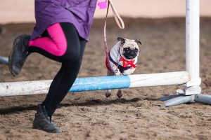 A small pug, with a red ribbon around the neck, is jumping a fence made for horses