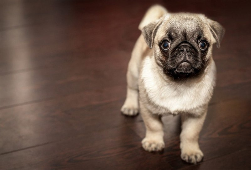 Are Pugs Smart?