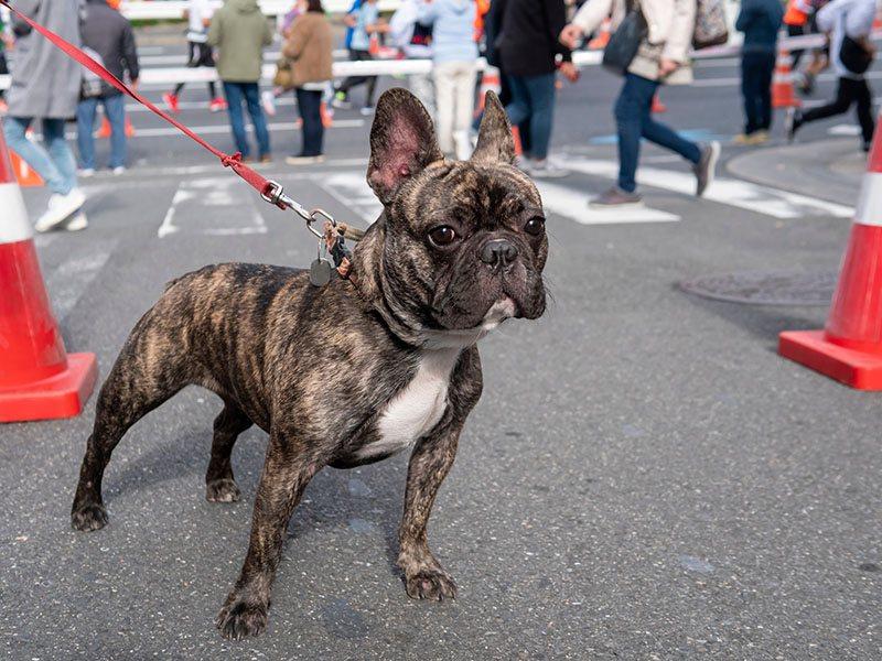 Brindle French bulldog walking in a city