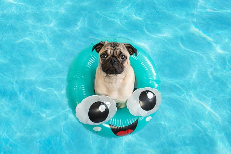 Can Pugs Swim?