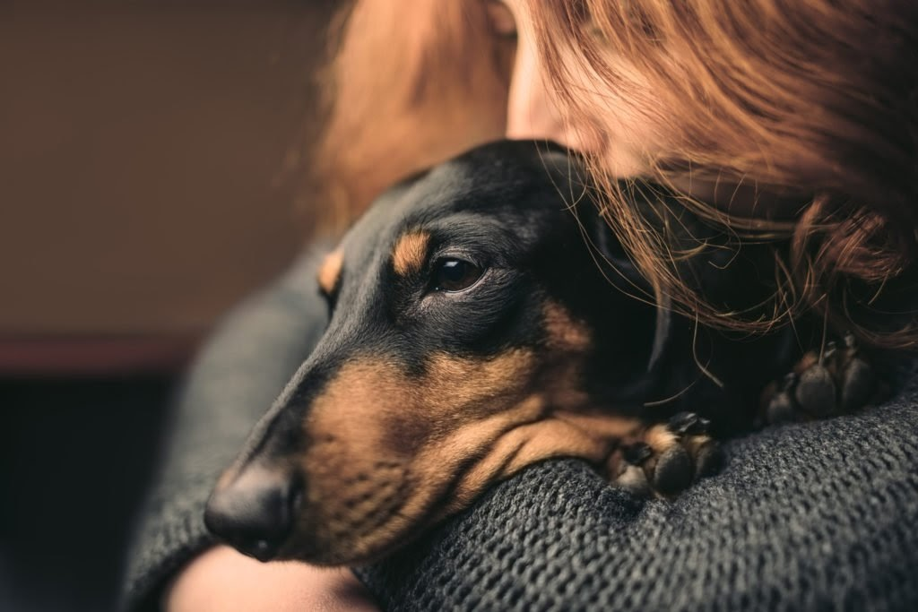 Cuddling a Dachshund Find out the Best Answer: Do Dachshunds Like To Cuddle?