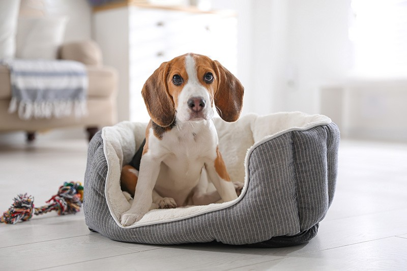Cute Beagle puppy in dog bed at home.