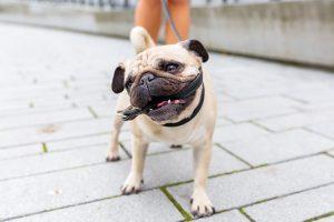 Do Pugs Bite?