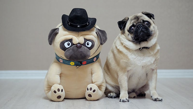 Do Pugs Have Down Syndrome?