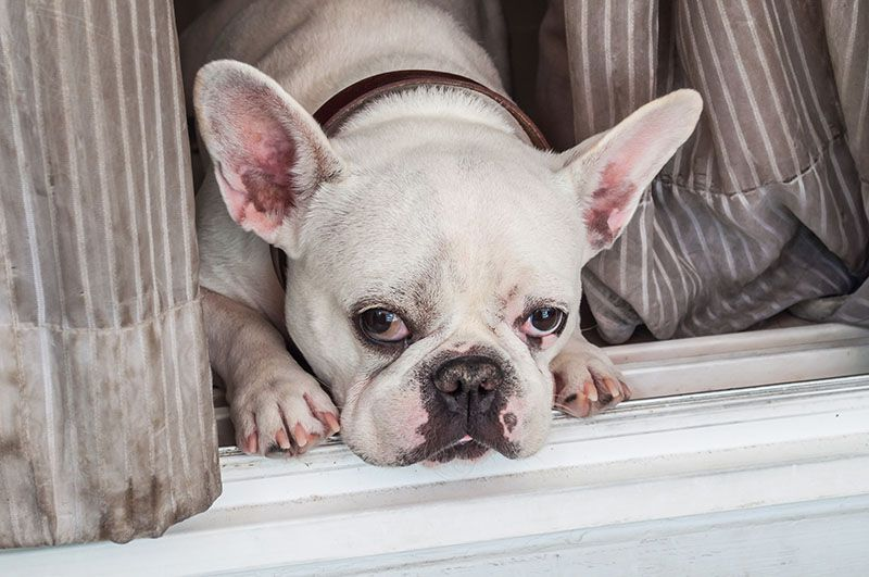 French Bulldogs at home