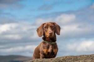 How Far Can A Miniature Dachshund Walk?