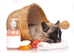 Puppy bath time - French Bulldog puppy in wooden wash basin