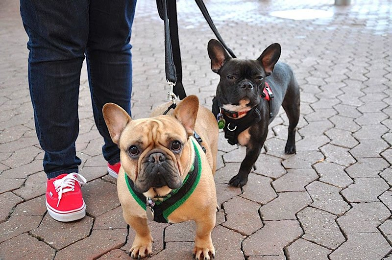 Taking blue French Bulldogs for a walk